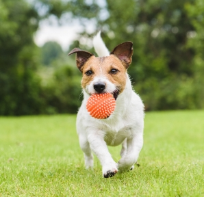 Small Dog With Ball
